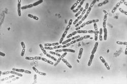 Bacillus Thuringensis